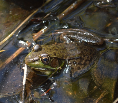 Frog_s